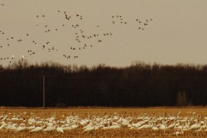 Migrating Tundra Swans Visiting the County